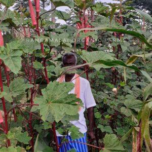 Pink Okra Seeds