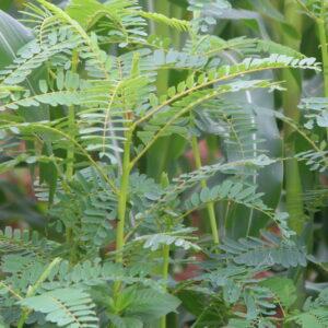 Agathi Keerai Seeds (Sesbania grandiflora)