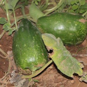Bottlegourd Seeds – Lingam shape