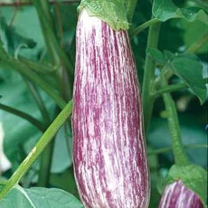 Violet Long Brinjal – White stripes Seeds (S1)