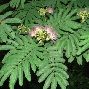 Arappu Tree Seed (Albizia Amara)