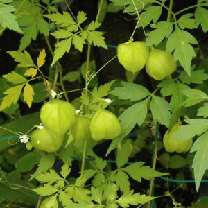Mudakathan Keerai or Balloon Vine Seeds
