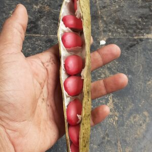 Giant Pink Sword Beans Seeds [Canavalia gladiata]