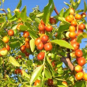 Indian jujube Seed (Ezhandha Pazham)