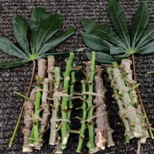 Heirloom Tapioca or Cassava Stem Cuttings