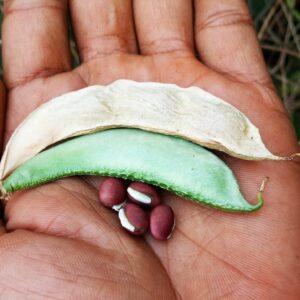 Kozhi Avarai Seeds (Type 2)